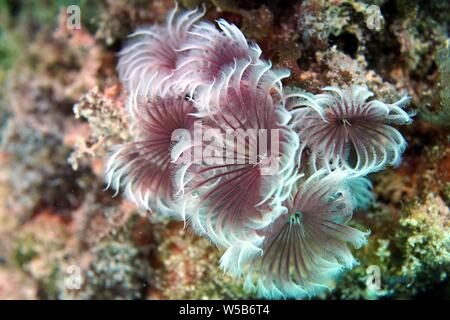 Social Feather Duster (Bispira brunnea) worms looking so fine, Meads Bay, Anguilla, BWI. - Stock Photo