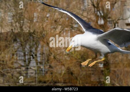 Lesser black-backed gull (Larus fuscus) swooping down to try and grab food from tourists, Parade Gardens Park, Bath, UK, April. - Stock Photo