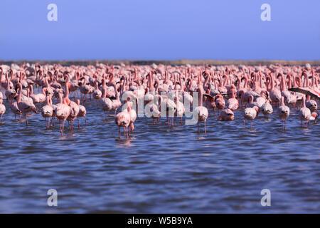A Flamboyance of Flamingoes in Swakopmund, Namibia - Stock Photo