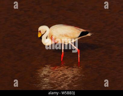 A closeup photo of flamingo in Laguna Colorada, Potosi. Bolivia. South America - Stock Photo
