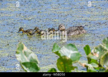 Mallard ducklings at John Heinz wildlife reserve - cute baby ducks swim in a marsh or pond with a mother Mallard duck hen Anas platyrhynchos ducklings - Stock Photo