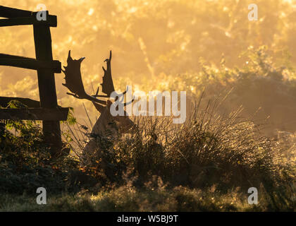 Silhouette of a stag resting by a fence in the dawn mist as the sun rises in Bradgate Park, Leicestershire - Stock Photo