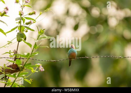 Red-cheeked cordon-bleu bird (Uraeginthus bengalus) pirched upon barb-wire, Nanyuki, Kenya. - Stock Photo