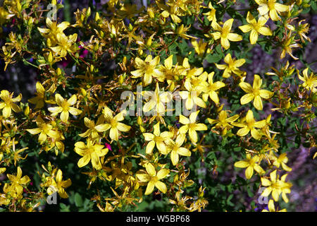 Johanniskraut - Hypericum perforatum - Stock Photo