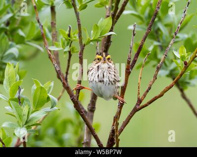 A Savannah Sparrow, passerculus sandwichensis, in the brushy tundra of Dutch Harbor, Aleutians, Alaska - Stock Photo