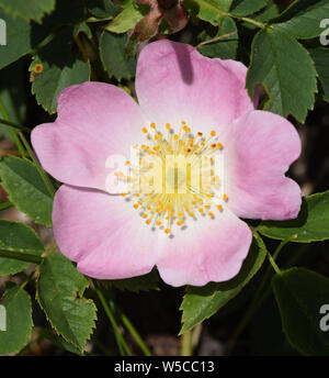 Hundsrose, Heckenrose, Rosa, canina - Stock Photo