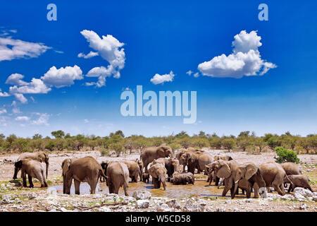 elephants at a waterhole, Etosha National Park, Namibia, (Loxodonta - Stock Photo