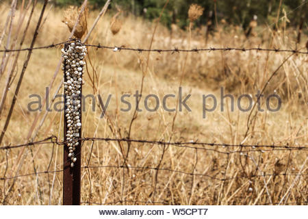 Lots of small snail shells in a barbed wire fence stands surrounded by golden colored grasses. Texture of Old fence - Stock Photo