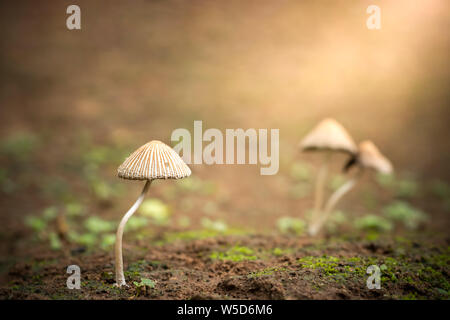 Poisonous mushroom and morning sunlight in tropical forest. Concept of beautiful killer.