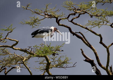 Marabou Stork (Leptoptilos crumeniferus), on a tree. with an overcast sky background.  This large stork is found it sub-Saharan Africa. It specialises - Stock Photo
