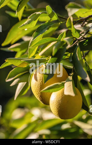 Ripe oranges hanging on a tree in the fruit garden - Stock Photo