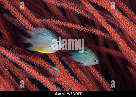 Whitebelly Damsel, Amblyglyphidodon leucogaster, Kimbe Bay, New Britain, Papua New Guinea - Stock Photo