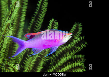 Male Purple Anthias, Pseudanthias tuka, Kimbe Bay, New Britain, Papua New Guinea - Stock Photo