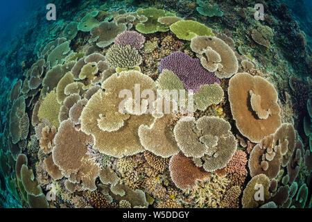 Healty Coral Reef, Kimbe Bay, New Britain, Papua New Guinea - Stock Photo