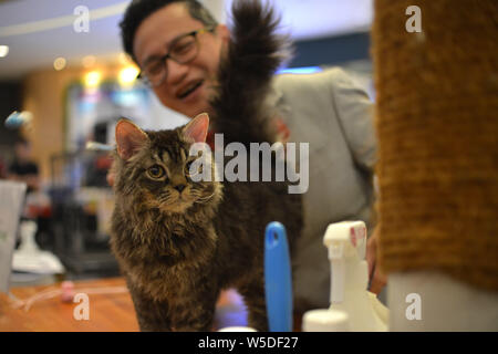 Kuala Lumpur, Malaysia. 28th July, 2019. A cat is judged during a competition of the National MEOW Championship 2019 in Kuala Lumpur, Malaysia, July 28, 2019. Credit: Chong Voon Chung/Xinhua/Alamy Live News - Stock Photo