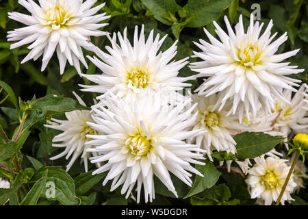 Flamboyant White Semi-Cactus Dahlia flowers in a garden herbaceous border. - Stock Photo