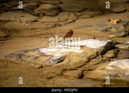 Female Beautiful demoiselle Damselfly, Calopteryx virgo, on rock by stream, natural setting. - Stock Photo