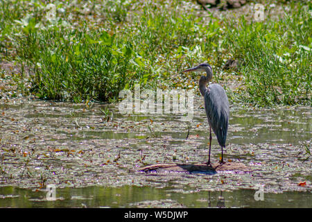 Great blue heron fishing at Springfield Conservation Center in Springfield, Missouri - Stock Photo