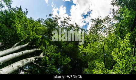 beech tree tops - Stock Photo