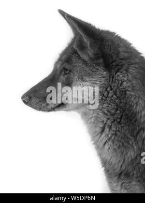 Black and white portrait of a Dingo (Canis lupus dingo) with white background, full head, lateral - Stock Photo