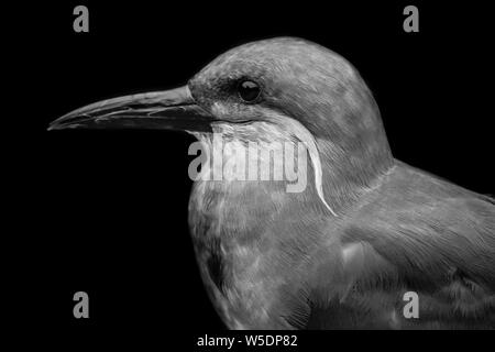 Black and white portrait of an Inca tern (Larosterna inca) with black background, full head, lateral - Stock Photo