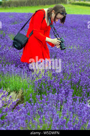 Woman in red coat walking through colourful lavender fields at Cotswold lavender near Broadway Worcestershire, England UK - Stock Photo