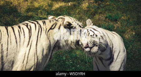 white Tiger head portrait in a zoo - Stock Photo