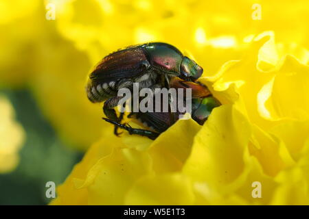 Close up (macro) of two Japanese Beetle (Popillia Japonica) making love or eating each other on a yellow marigold. - Stock Photo
