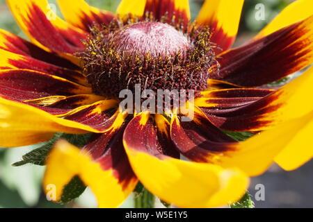 Side shot close-up of a Gloriosa Daisy (Rudbeckia hirta) flower growing in a Glebe garden, Ottawa, Ontario, Canada.