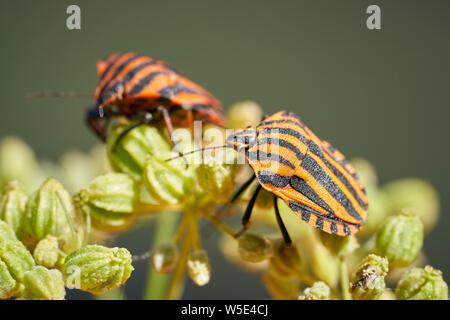 Striped bugs (Graphosoma lineatum) on a blossom in summer - Stock Photo
