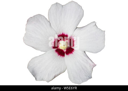 Hibiscus syriacus white with deep red center rose of Sharon 'Red Heart' flower isolated on white. - Stock Photo