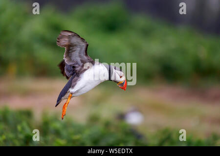 Atlantic puffin (common puffin, Fratercula arctica) in flight landing on Skomer, a nature reserve island off the west Wales coast in Pembrokeshire