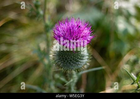 Honey bee on creeping thistle (cirsium arvense) purple flower 2. Honey bee on creeping thistle (cirsium arvense) purple flower. Selective focus and - Stock Photo