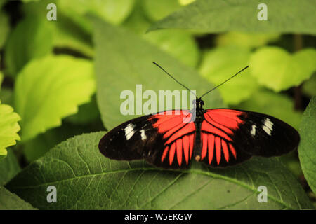 Doris longwing (Laparus doris) perched on a large green leaf with open wings - Stock Photo
