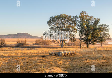 Winter landscape with sheep in kwaZulu-Natal province of South Africa image in landscape format - Stock Photo