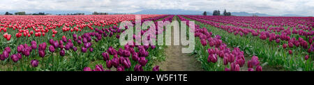 Colourful tulip fields in the Skagit Valley, Washington State, USA. - Stock Photo