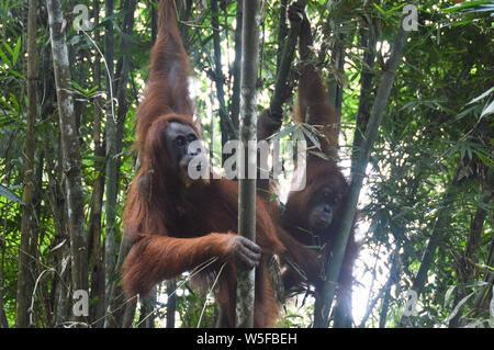 Wild North Sumatran Orangutans spotted during a jungle trekking in Gunung Leuser National Park in Bukit Lawang North Sumatra, Indonesia - Stock Photo