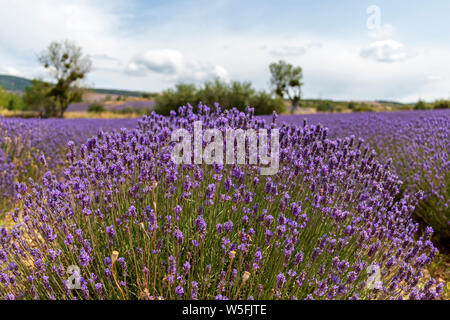 Purple lavender fields at mountainous, late-blooming location. One of the summer Must-Sees in Provence, France - Stock Photo