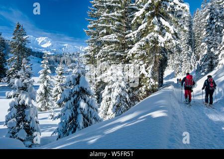 Austria, Kleinwalsertal (little Walser valley), Allgau Alps, snowshoeing and Ski mountaineering in the Schwarzwassertal; Norway Spruce forest - Stock Photo