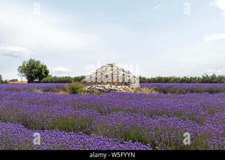Stone house in the middle of violet lavender field. Rock pile surrounded by vivid purple lavender lines at blooming season, France - Stock Photo