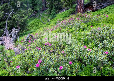 Austria, UNESCO's Biosphere Reserve Salzburg's Lungau,Austria, Biosphere Park, alpenrose (Rhododendron ferrugineum) blooming in theforest undergrowth - Stock Photo