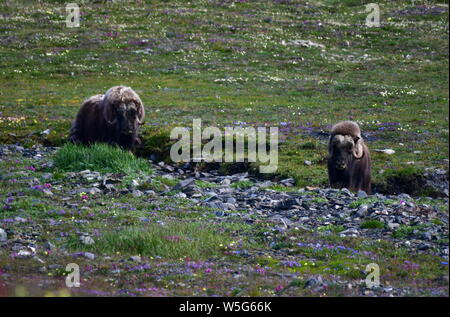 Russia. 13th July, 2019. CHUKOTKA, RUSSIA - JULY 13, 2019: Muskoxen on Wrangel Island, part of the Wrangel Island State Nature Reserve in the Arctic Ocean. Yuri Smityuk/TASS Credit: ITAR-TASS News Agency/Alamy Live News - Stock Photo