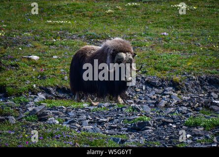 Russia. 13th July, 2019. CHUKOTKA, RUSSIA - JULY 13, 2019: A muskox on Wrangel Island, part of the Wrangel Island State Nature Reserve in the Arctic Ocean. Yuri Smityuk/TASS Credit: ITAR-TASS News Agency/Alamy Live News - Stock Photo