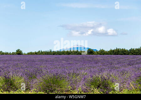 Mont Ventoux in the distance with lavender fields, Blurred background, South France - Stock Photo