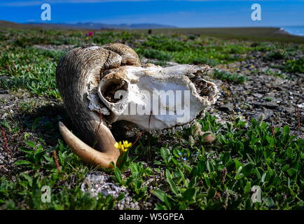 Russia. 13th July, 2019. CHUKOTKA, RUSSIA - JULY 13, 2019: A muskox skull on Wrangel Island, part of the Wrangel Island State Nature Reserve in the Arctic Ocean. Yuri Smityuk/TASS Credit: ITAR-TASS News Agency/Alamy Live News - Stock Photo