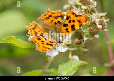 Comma butterfly, Polygonia c-album, feeding on Bramble, Rubus fruticosus, Sussex, UK, July, - Stock Photo