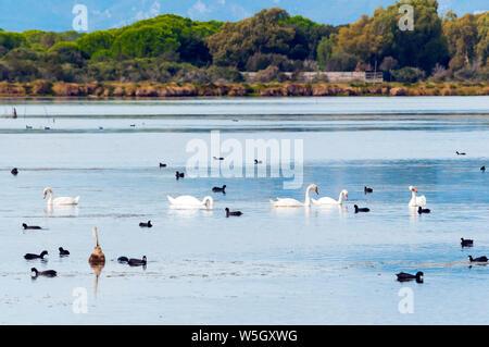 Swans (Cygnus cygnus) and Eurasian coots (Fulica atra) at Burano Lake WWF Oasis, Capalbio, Grosseto province, Tuscany, Italy, Europe - Stock Photo