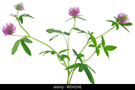 Clover flowers isolated on white background - Stock Photo