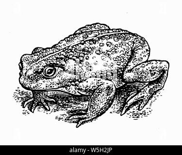 Black and white scraperboard engraving of toad - Stock Photo