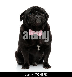 Frightened pug looking upwards and wearing an adorable pink bowtie while sitting on white studio background - Stock Photo